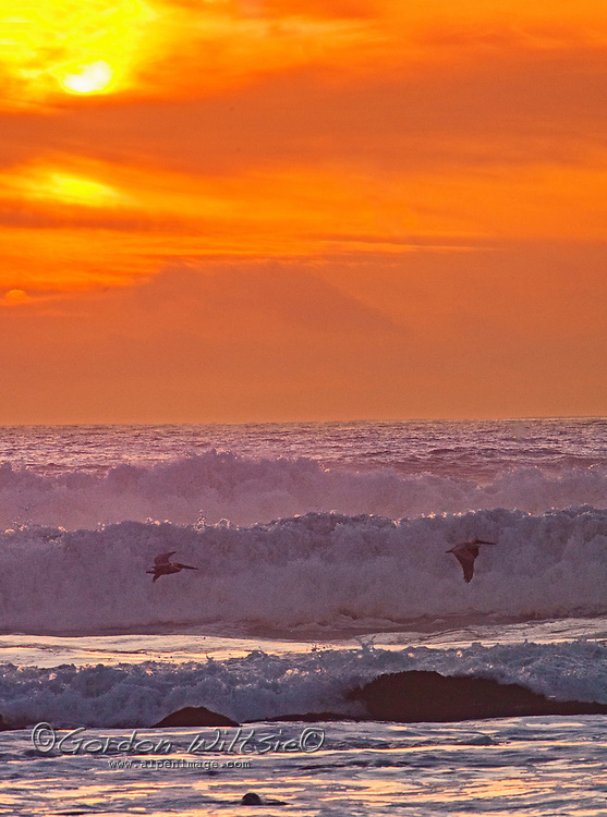 """Pelicans fly over surf waves along the Pacific Ocean coast of California near Half Moon Bay. The """"rock"""" in the foreground is a harbor seal."""