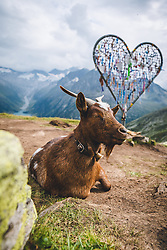 THEMENBILD - ein Ziege auf einer Bergwiese naehe der Olpererhuette, aufgenommen am 25. August 2019 in den Zillertaler Alpen, Österreich // a goat on a mountain meadow near the Olpererhuette, Austria on 2019/08/25. EXPA Pictures © 2019, PhotoCredit: EXPA/ Dominik Angerer