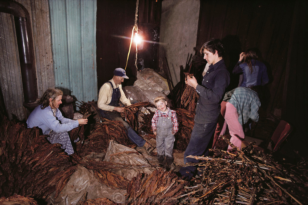 Tobacco - The Clifton Walton family strips dried tobacco from the stalks in their barn in Charlotte, Tennessee. USA.
