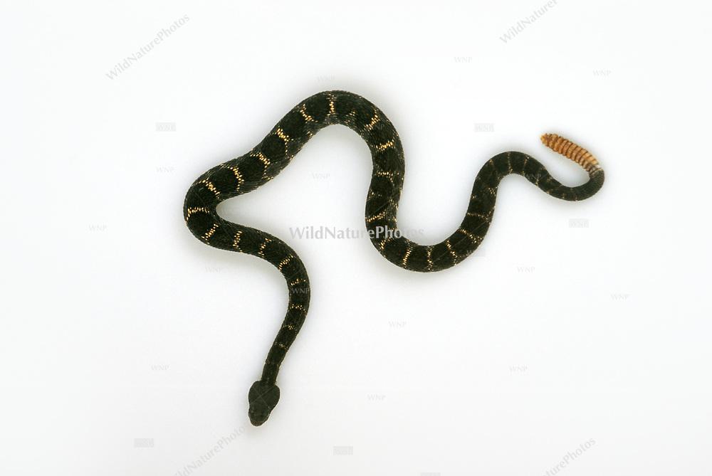 Arizona Black Rattlesnake (Crotalus viridis cerberus),  Studio Portrait. Good for cutouts.
