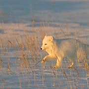 Arctic fox (Vulpes lagopus), in its winter coat phase, running near Churchill, Manitoba. Canada.