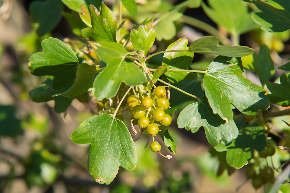 Golden currants ripening in the late afternoon sunshine in Cowiche Canyon, just to the west of Yakima, WA. These native wild edibles were (and still are) used as food for many of the Native American tribes across North America.