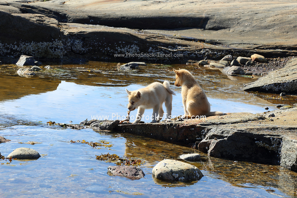 Dogs forging for food on the shores of Disko Bay, Western Greenland