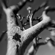 Burned Joshua Tree - Lensbaby - Infrared Black & White