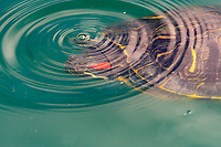 Red-eared Slider, Trachemys scripta elegans, swims in a lake in the Riparian Preserve at Water Ranch, Gilbert, Arizona
