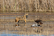 Golden Jackal (Canis aureus) and marsh harrier (Circus aeruginosus), eat a common Crane (Grus grus). Photographed in the Hula Valley Israel