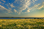 Field of common or oxeye daisy (Leucanthemum vulgare or Chrysanthemum leucanthemum) flowers at sunset<br />