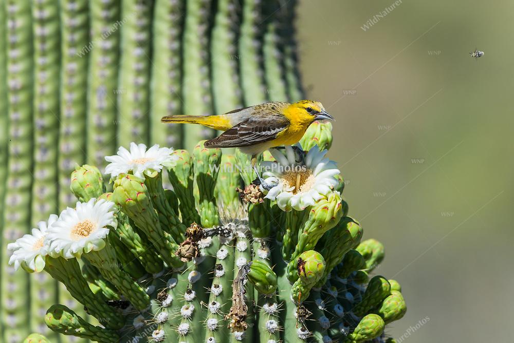 An immature male Bullock's Oriole (Icterus bullockii), feeding on nectar and pollen from the flowers of a Suaguaro cactus (Carnegiea gigantea)