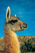 Baby guanaco,  Torres del Paine National Park, Patagonia, Chile.