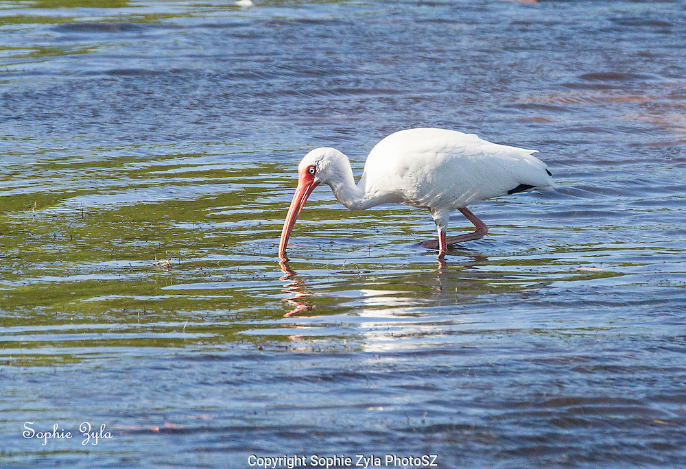 White Ibis foraging