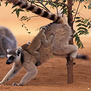 Ring-tailed Lemur, (Lemur catta) ENDANGERED SPECIES.Adult with young scent-marking. Madagascar.