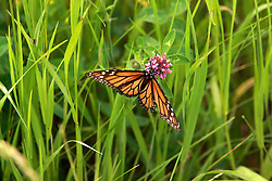 13 June 2008: A monarch butterfly looks for sweets on the flower of red clover. (Photo by Alan Look)