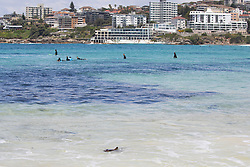 """EXCLUSIVE: *NO SUBSCRIPTION USE* Shark catches a ride on Bondi Rescue lifeguard's surf ski after washing up on iconic Bondi Beach. ** Where image credits are published, """"KHAPGG"""" must be included. KHAPGG reserves the right to reverse any prior publishing or usage permissions where """"KHAPGG"""" credits have been excluded from published image credits. 27 Nov 2018 Pictured: Shark Rescue Bondi Beach. Photo credit: KHAPGG / MEGA TheMegaAgency.com +1 888 505 6342"""