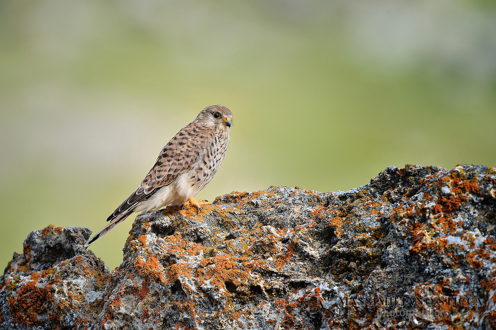 """The Common Kestrel (Falco tinnunculus) is a bird of prey species belonging to the kestrel group of the falcon family Falconidae. It is also known as the European Kestrel, Eurasian Kestrel, or Old World Kestrel. In Britain, where no other brown falcon occurs, it is generally just called """"the kestrel"""".<br /> This species occurs over a large range. It is widespread in Europe, Asia, and Africa, as well as occasionally reaching the east coast of North America[citation needed]. But although it has colonized a few oceanic islands, vagrant individuals are generally rare; in the whole of Micronesia for example, the species was only recorded twice each on Guam and Saipan in the Marianas."""