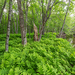 Ferns and silver maple trees in a late-succesional flood plain forest along the West Branch of the Pleasant River in Piscataquis County, Maine. Near Greenville.