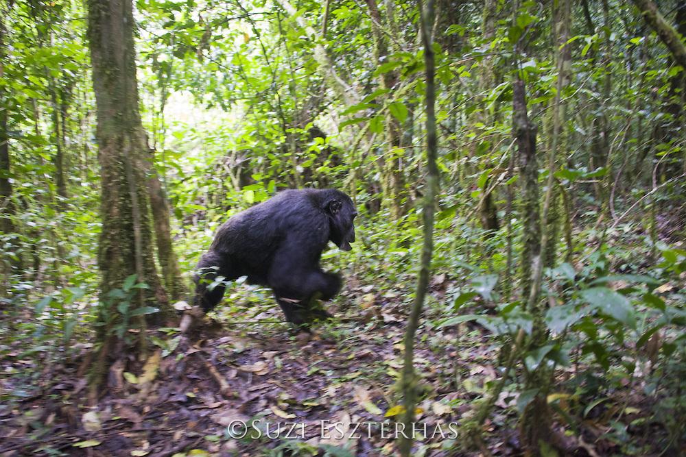 Chimpanzee<br /> Pan troglodytes<br /> Walking through forest<br /> Tropical forest, Western Uganda