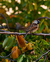 House Sparrow (?) on a Carambola Tree in St. Petersburg, Florida. Image taken with a Nikon D300 camera and 200 mm f/2 VR lens (ISO 100, 105 mm, f/11, 1/250 sec).