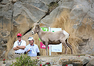 """22 JAN 15 Some iconic Mountain residents paid a surprise visit during Sunday""""s Final Round at The Humana Challenge at PGA West, in LaQuinta, California.(photo credit : kenneth e. dennis/kendennisphoto.com)"""