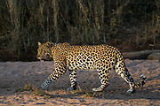 Leopard  (Panthera pardus)<br /> Marakele Private Reserve, Waterberg Biosphere Reserve<br /> Limpopo Province<br /> SOUTH AFRICA<br /> RANGE: Throughout Sub-Saharan Africa except interior of South Africa. Also in Asia.Leopard  (Panthera pardus)<br /> Marakele Private Reserve, Waterberg Biosphere Reserve<br /> Limpopo Province<br /> SOUTH AFRICA<br /> RANGE: Throughout Sub-Saharan Africa except interior of South Africa. Also in Asia.