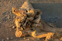 Driftwood at Kalaloch Beach 4, Olympic Peninsula, Washington, US