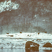 All the wolves that I saw in Glacier Bay were black, and the looked particularly striking in contrast with the snow in winter. Adam's Inlet was my favourite place to go in Glacier Bay, and gave the greatest sense of solitude and wilderness; there was always a good possibility of seeing moose or wolves in there. It was quite challenging getting into the inlet because there was quite a narrow twisting channel that flowed into a salt-chuck, and during maximum ebb or flood it was more like shooting the rapids, and there were a lot of hazardous shoals to avoid getting stuck on.