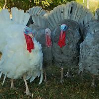 White Holland Heritage Turkey