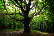 A large tree in the Stenshuvud National Reserve Park in the south-east of Sweden.