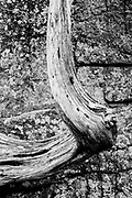 A tree trunk detail from near Otter Cliffs, Acadia National Park, Maine
