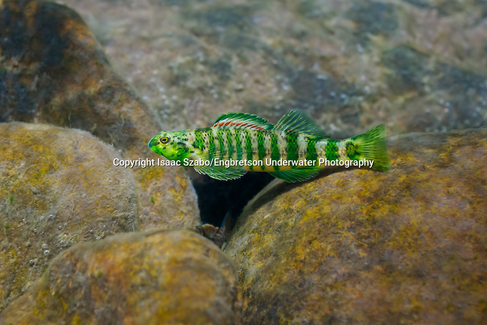 Banded Darter<br /> <br /> Isaac Szabo/Engbretson Underwater Photo