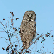 Great Gray Owl (Strix nebulosa) perched in tree, hunting. The pattern in its feathers giving it excellent camouflage. Northern Minnesota. January. Winter.