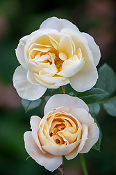 Rosa Champagne Moment AGM syn. 'Korvanaber' syn. 'Lion's Fairy Tale'