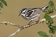 Black and White Warbler - Mniotilta varia - Adult male breeding