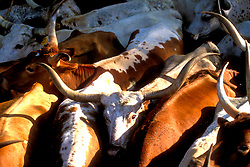 close up of a tightly packed group of longhorn cattle