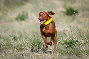 SHOT 5/9/20 8:54:39 AM - Various pointing breeds compete in the Vizsla Club of Colorado Licensed Hunt Test Premium at the Rocky Mountain Sporting Dog Club Grounds in Keenesburg, Co. (Photo by Marc Piscotty / © 2020)