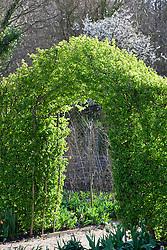 Hawthorn arch into the vegetable garden in spring. Crataegus monogyna