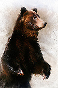 Artistic watercolor effects applied to a photograph of a startled grizzly bear in Grand Teton National Park.