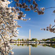 The Washington Monument is reflected on still waters of the Tidal Basin and framed by some of the 1,678 Cherry Blossom trees blooming in early spring.