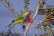 Monk Parakeet - Myiopsitta monachus