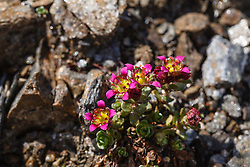 Tweebloemige steenbreek, Saxifraga biflora