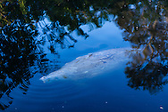 A manatee breaths approximately every five minutes, but while dormant can stay underwater for about 20 minutes. Here a manatee takes a breath in the Florida Everglades.