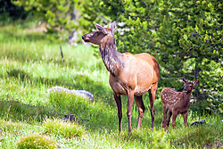 Cow and calf elk, Yellowstone National Park