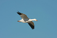 Snow Goose - Anser caerulescens - adult white phase in flight