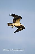 00783-01016 Osprey (Pandion haliaetus) female in flight    FL