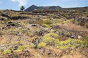 Euphorbia balsamifera and Kleinia Nerifolia growing on lava flows Malpais de Corona, Lanzarote, Canary Islands, Spain