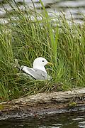 Mew Gull on Nest in Grass