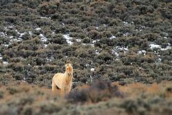 Palomino Mustang, high desert, Farson, Wyoming
