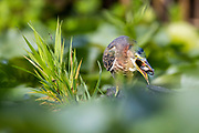 A green heron (Butorides virescens) swallows a fish that it caught in the wetlands of the Washington Park Arboretum in Seattle, Washington.