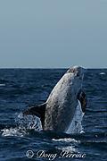 Risso's dolphin ( Grampus griseus )<br /> breaching off San Diego<br /> California U.S.A. ( Eastern Pacific Ocean )