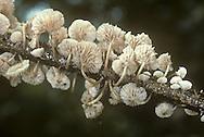 Twig Parachute - Marasmiellus ramealis