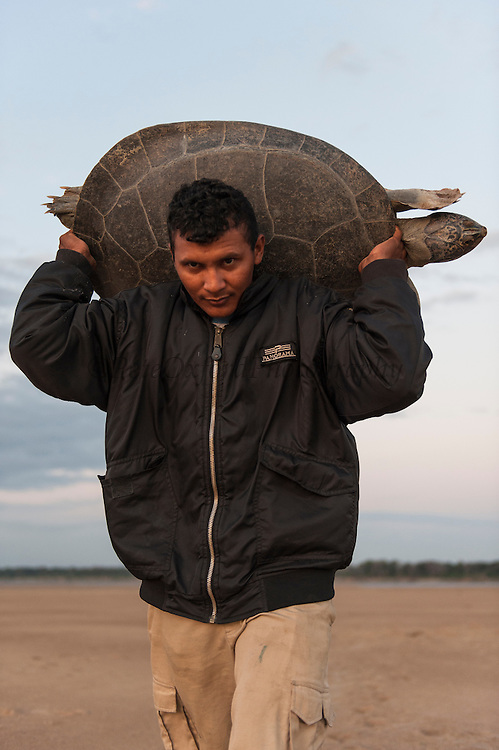 Giant River Turtle (Podocnemis expansa) after Biometric data taken being carried back to river by Franklin Tobar.<br /> CAPTIVE-REARING PROGRAM FOR REINTRODUCTION TO THE WILD<br /> CITES II      IUCN ENDANGERED (EN)<br /> Playita Beach, (mid) Orinoco River, 110 Km N of Puerto Ayacucho. Apure Province, VENEZUELA. South America. <br /> L average 90cm, Wgt 30-45kg. Largest fresh water river turtle in South America. Eggs round & 42mm. 90-100 per clutch. 6-8 weeks incubation.<br /> (This female measured:69cm curved carapace length & weighed:31kg and layed 121 eggs) Females come ashore to sun themselves for several days before laying to boost egg development.  They lay when the river is at its lowest. Herbacious and live in white or black water rivers moving into flooded forests of the Amazon during the wet season to feed on fallen seeds and fruit.<br /> RANGE: Amazonia, Llanos & Orinoco of Colombia, Venezuela, Brazil, Guianas, Ecuador, Peru & Bolivia.<br /> Project from Base Camp of the Protected area of the Giant River Turtle (& Podocnemis unifilis). (Refugio de Fauna Silvestre, Zona Protectora de Tortuga Arrau, RFSZPTA)<br /> Min. of Environment Camp which works in conjuction with the National Guard (Guardia Nacional) who help enforce wildlife laws and offer security to camp. From here the ministery co-ordinate with other local communities along the river to hand-rear turtles for the first year of their life and then release them. They pay a salary to a person in each community that participates in the project as well as providing all food etc. The turtles are protected by law and there is a ban on the use of fishing nets in the general area. During egg laying season staff sleep on the nesting beaches to monitor the nests.  All nests layed on low lying ground are relocated to an area not likely to flood. They are then surrounded by a net to catch all hatchlings who will then spend the first year of their life in captivity to increase their chances of survival.